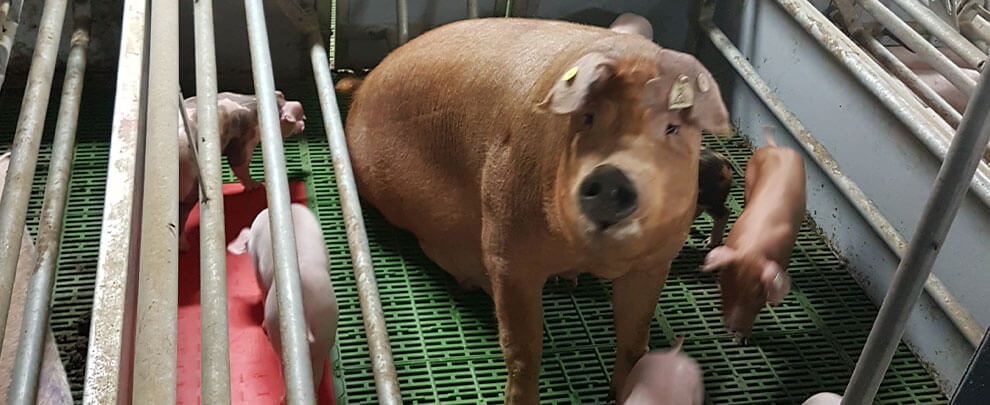 The pig, an option for human medicine