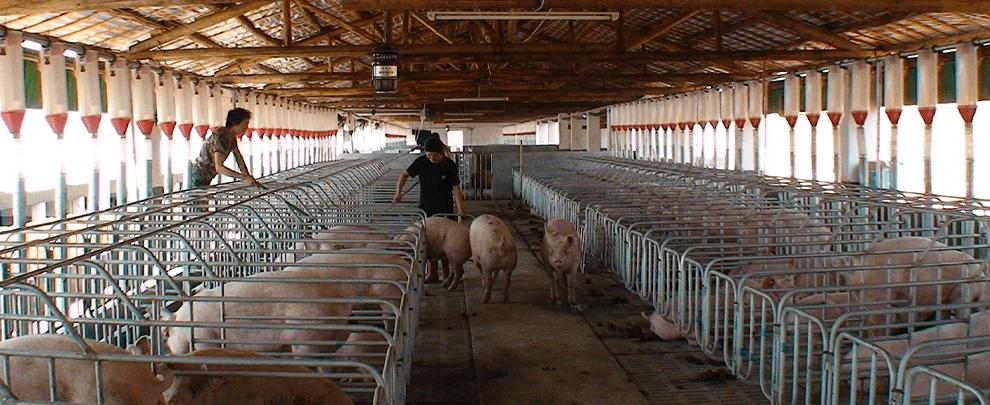 Xina es manté com a principal productor de carn de porc tot i la PPA