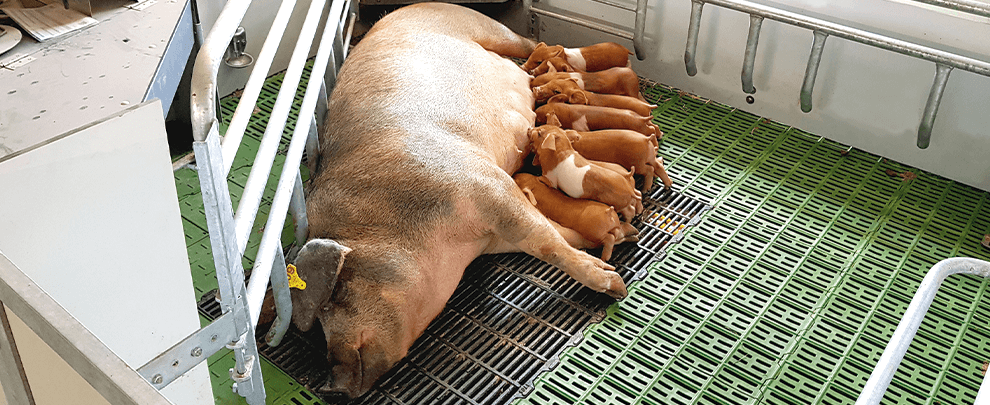 Tecnología de precisión aplicada en granjas porcinas