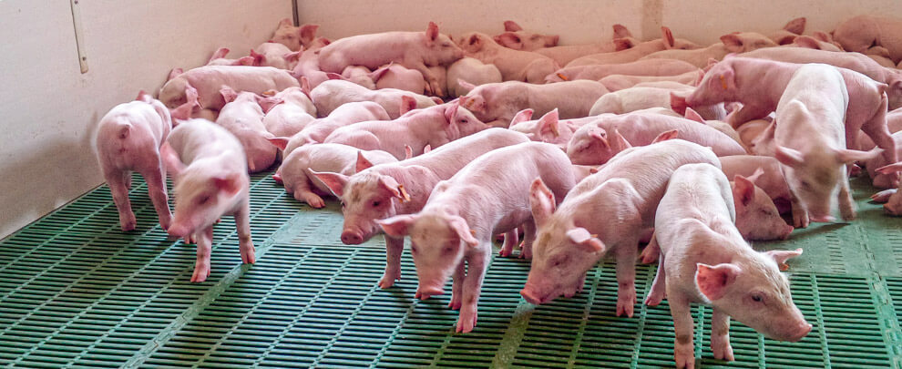 Какое влияние оказывает COVID-19 на  отрасль свиноводства ?