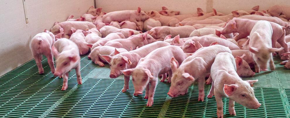 ¿Qué impacto ha tenido la COVID-19 en el sector porcino?