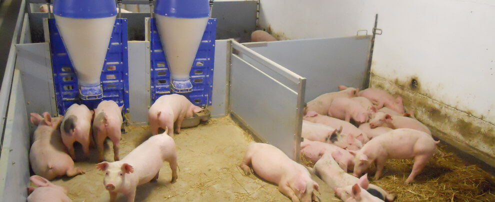 Nuevas oportunidades para el sector porcino húngaro