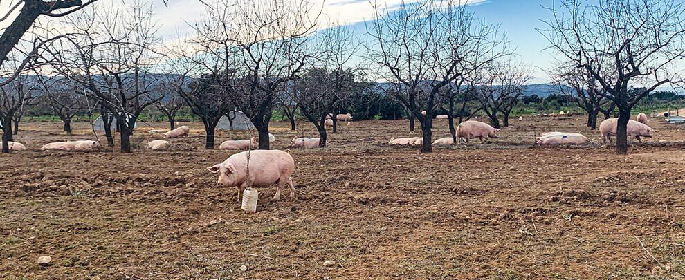 Экологическая ферма в лериде с поголовьем 250 свиней на площади в 60 гектаров