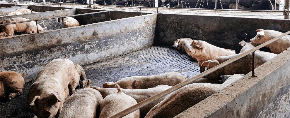 Задачи испанской отрасли свиноводства на фоне восстановления поголовья свиней в китае
