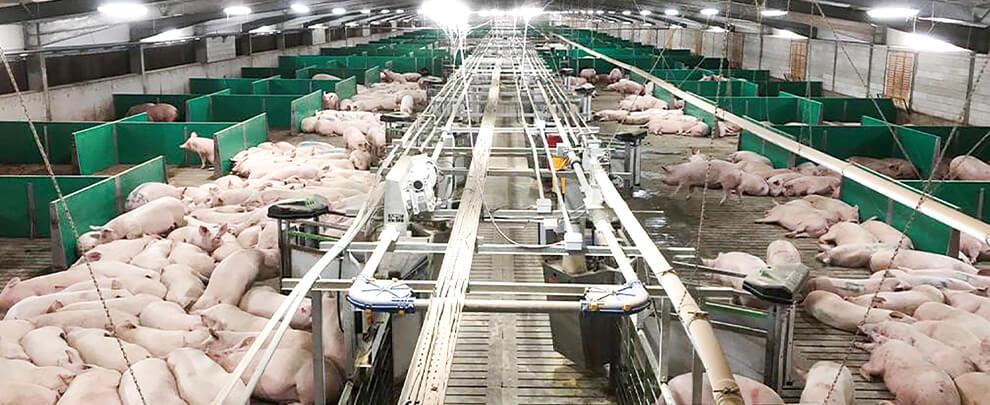 Развитие Аргентинской отрасли свиноводства за последние 20 лет