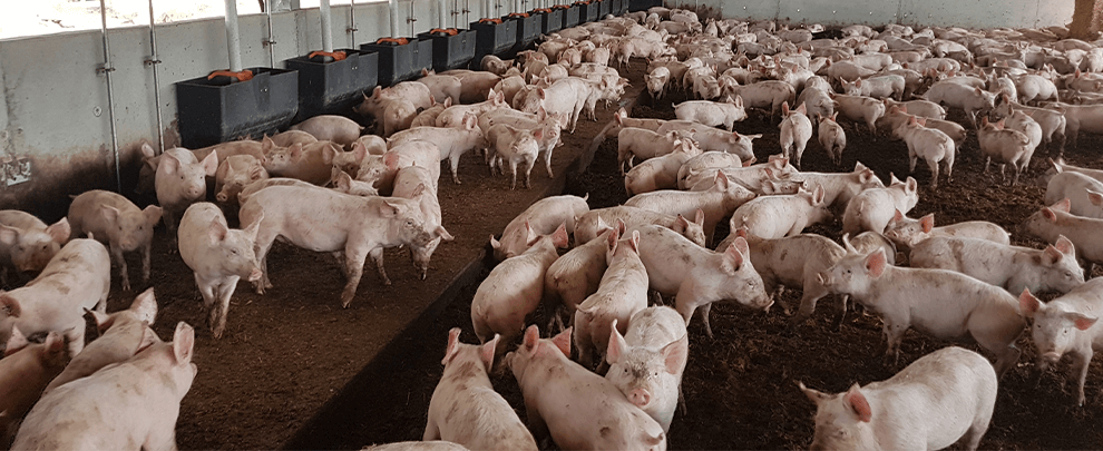 The Australian pig sector becomes more technical, and its production increases