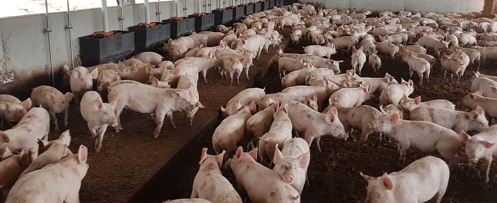 El sector porcino australiano se tecnifica y aumenta su producción