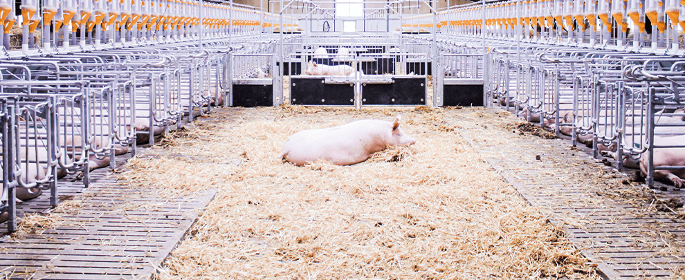 Export and efficiency, keys to  the danish pig sector
