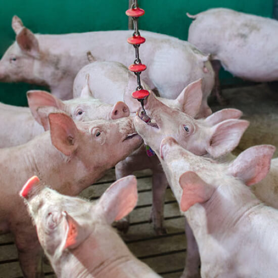 Image of the anti-stress chain mounted and being used by pigs