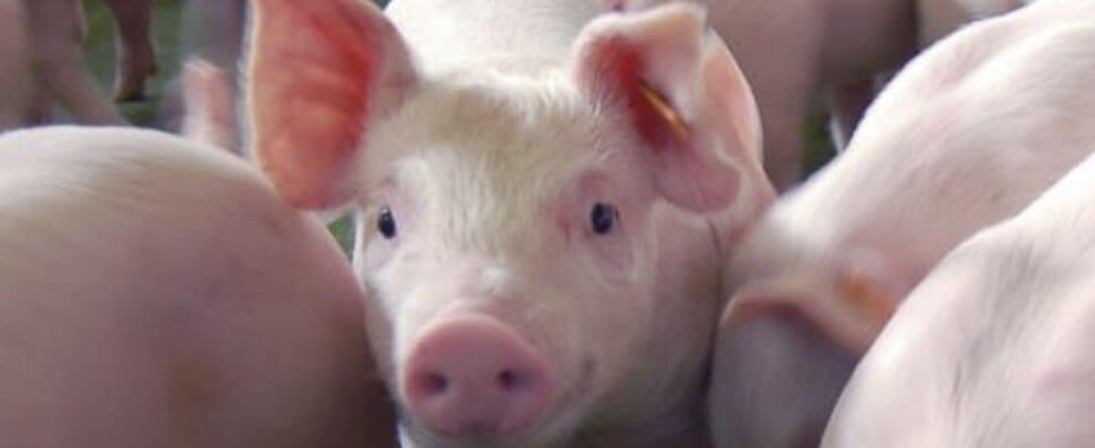 The pig, an intelligent animal