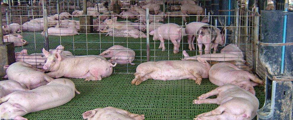 La competitividad del sector porcino, clave en Costa Rica