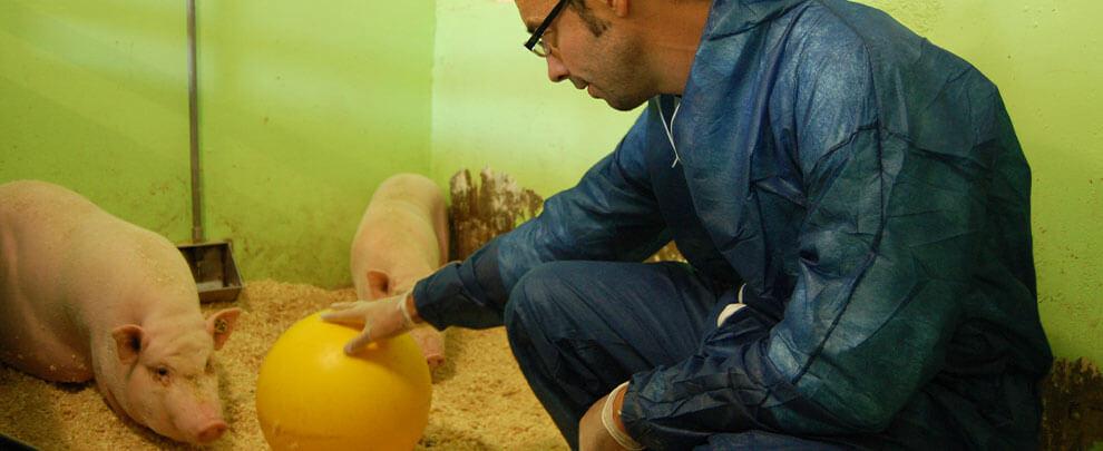 Specipig, un cerdo enano para la investigación