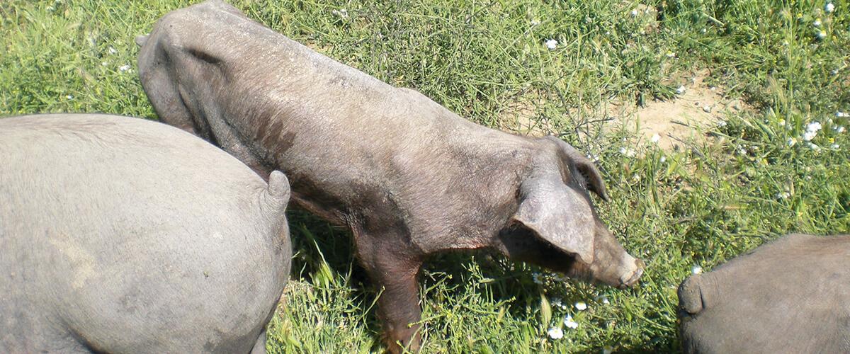 Valoració del benestar animal porcí